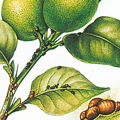 cocciniglie limone