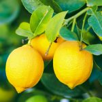 Malattie del limone | Come curare la pianta di limone