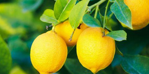 malattie del limone