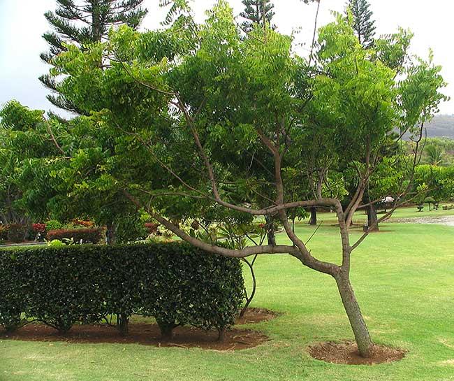 albero di neem