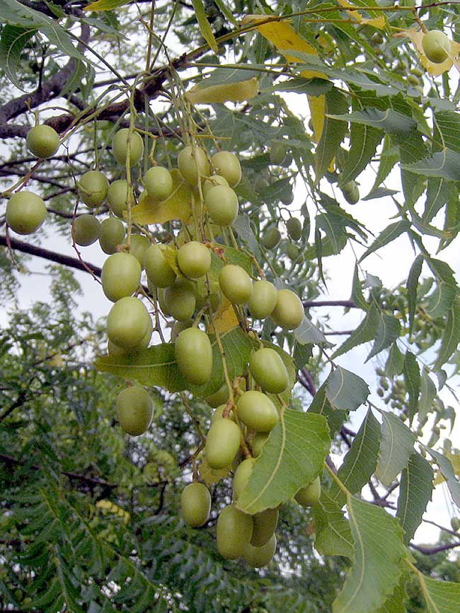 semi albero di neem