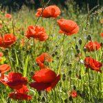 Papavero | Bellissimi fiori recisi, ma attenzione alle proprietà