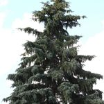 Pino | Varietà, forma e coltivazione