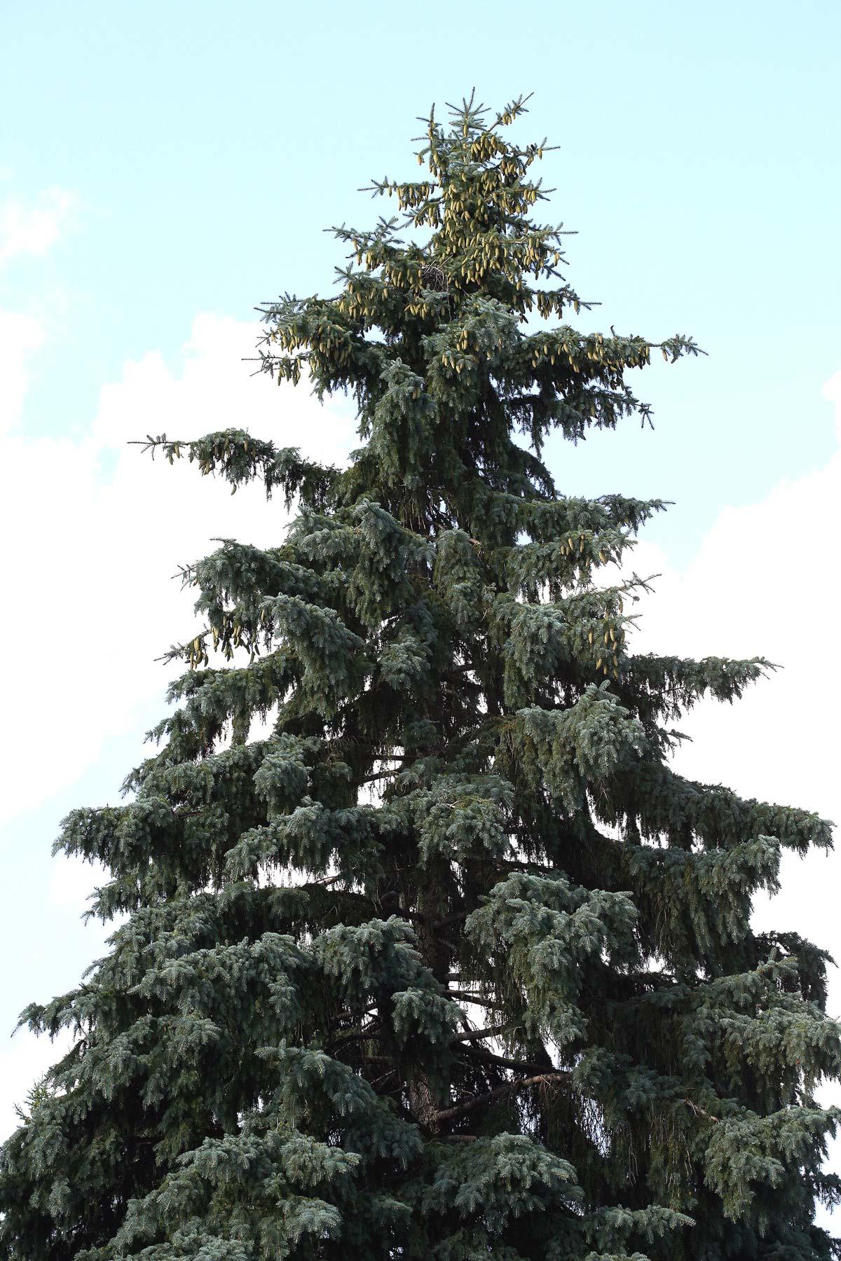 pino variet forma e coltivazione