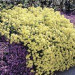 Verbena | Fioritura, coltivazione e proprietà