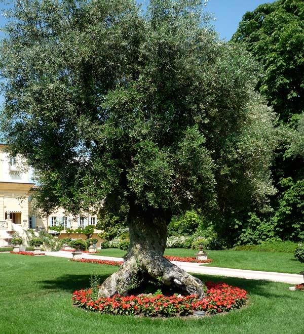 Villa amist descrizione delle piante del giardino for Aiuola con olivo