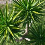 Yucca in vaso e giardino