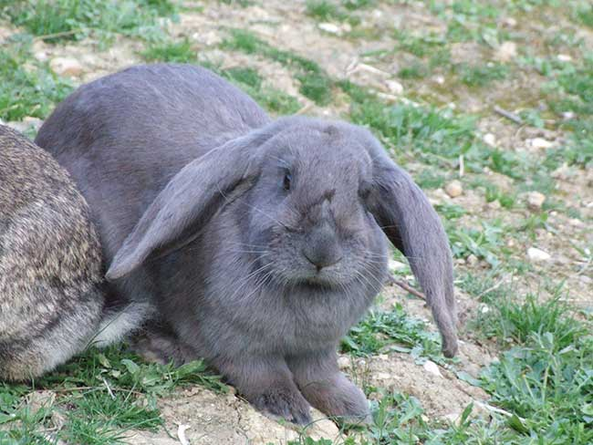 coniglio ariete gigante