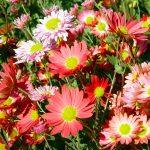 Aster fiore | Coltivazione e trapianto