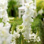 Fiori bianchi | La luminosità del bianco in giardino