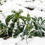 Orto invernale cosa piantare | Ortaggi e verdure