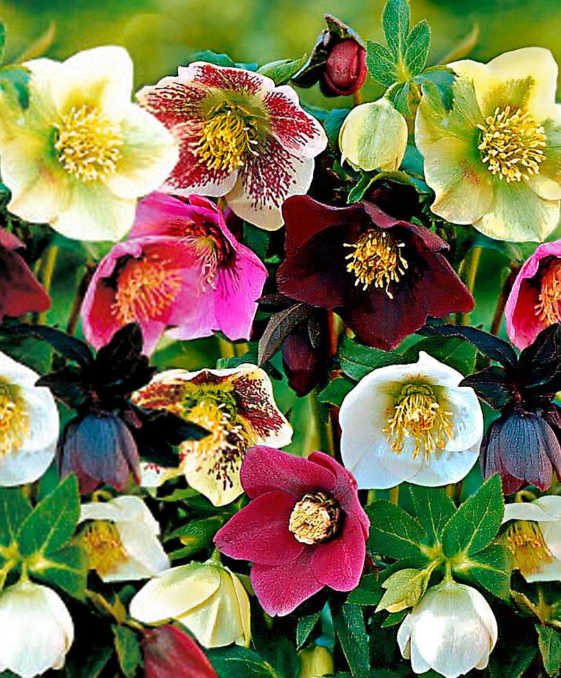 Fiori Da Balcone Perenni fiori invernali   quali sono? un elenco dettagliato