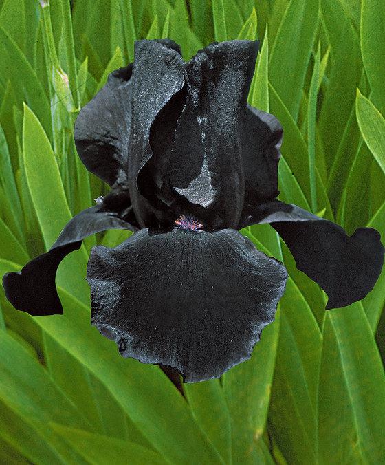 fiori neri iris