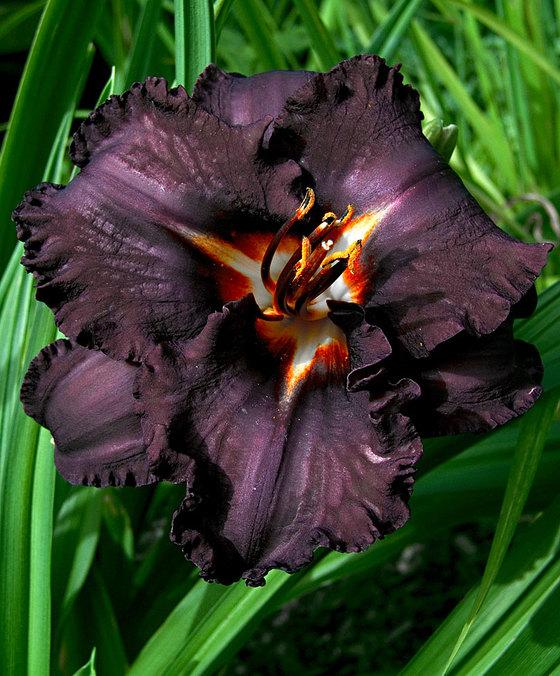 fiori neri bella di giorno