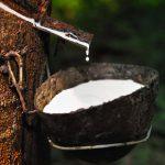 Caucciù l'albero della gomma | Gli utilizzi di questa pianta