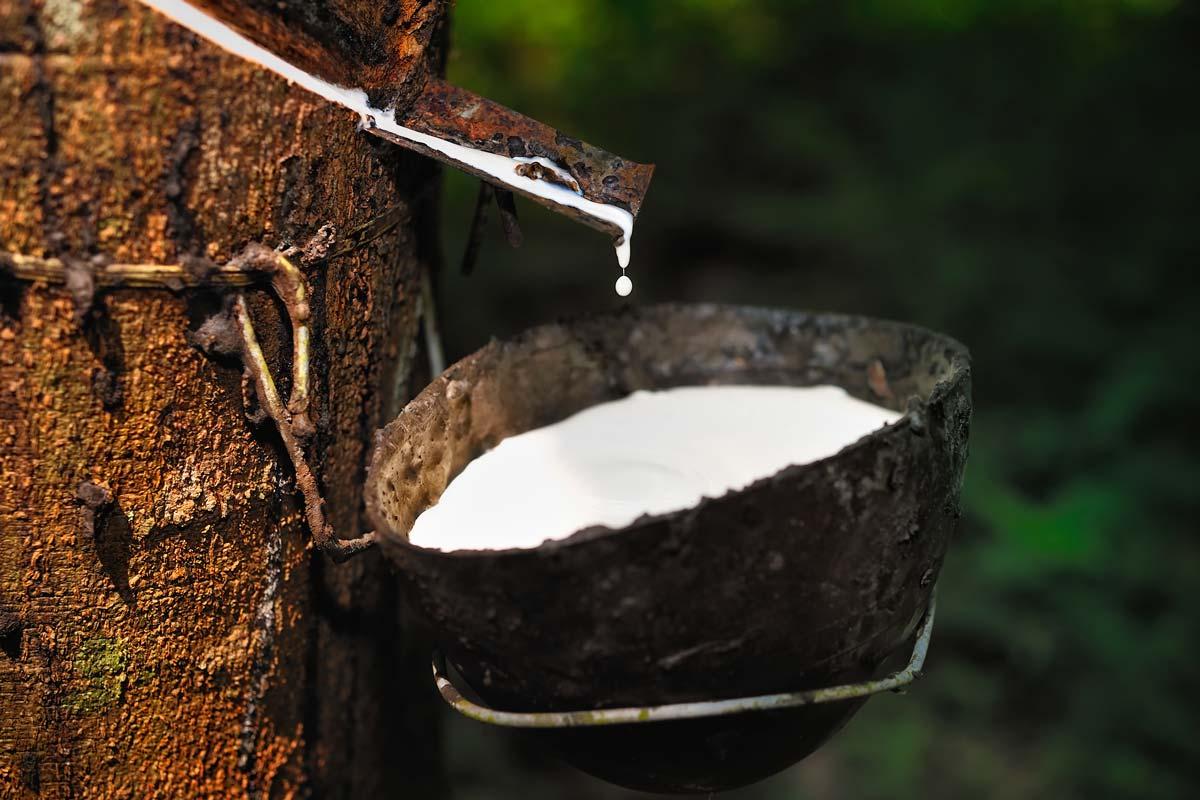 Piante Bonsai Prezzi : L albero della gomma il caucciù e le sue proprietà