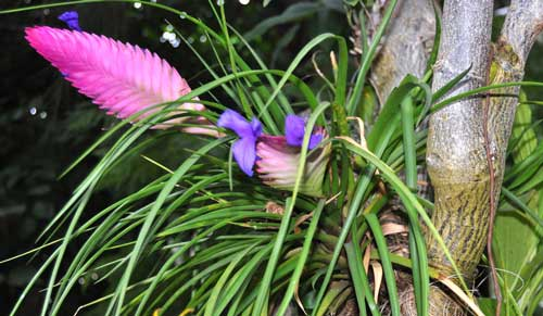 Tillandsia cyanea cura coltivazione e propriet for Tillandsia pianta