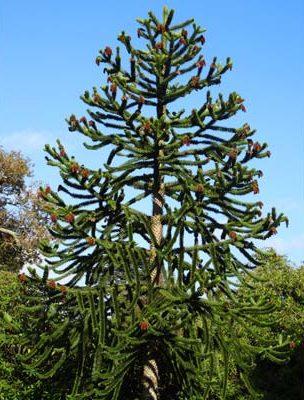 Un esempio di a.aracauna in natura.