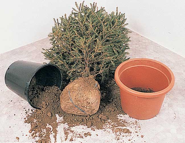 Come Curare La Stella Di Natale In Vaso.Abete Di Natale Come Rinvasarlo Correttamente Fai Da Te In Giardino