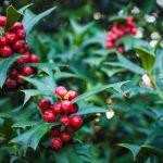 Agrifoglio | La pianta di Natale facile da coltivare