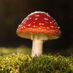Amanita muscaria | Forma, storia ed effetti di uno dei funghi più velenosi al mondo