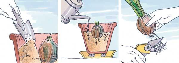 coltivazione amarillied