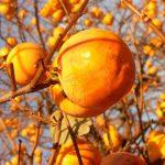 Caco mela | Impariamo a conoscerlo