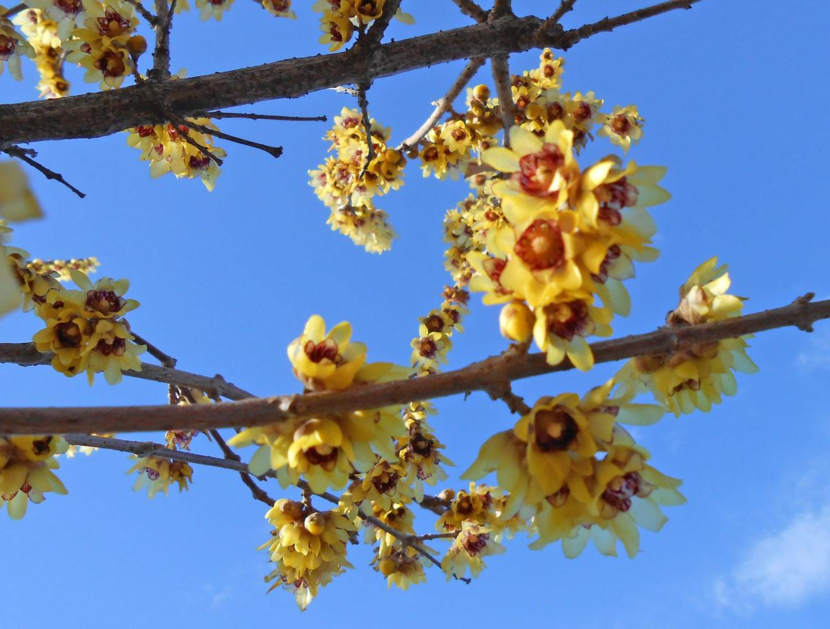 Calicanto Fiore D Inverno calicanto | profumato fiore d'inverno