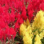 Celosia, pianta ideale per l'estate | Cura e coltivazione