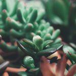 Crassula | Varietà principali e coltivazione in vaso