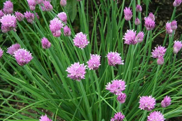 erbetta cipollina fiori