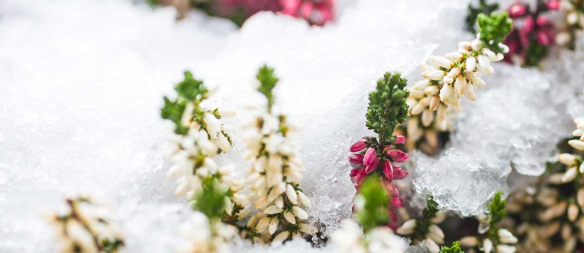 Fiori Invernali Bianchi.Fiori Invernali Quali Sono Un Elenco Dettagliato