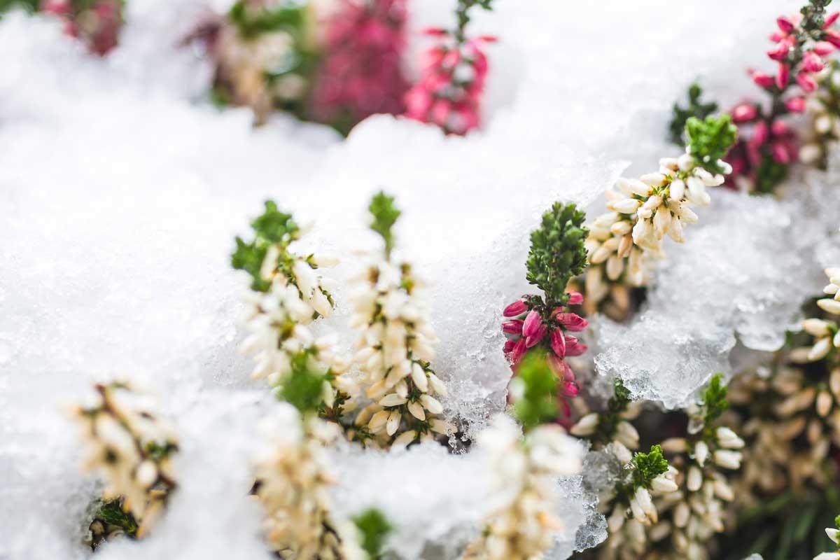 Fiori invernali quali sono un elenco dettagliato for Piante invernali
