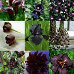 Fiori neri | Rose, tulipani e altri fiori dai colori tendenti al nero