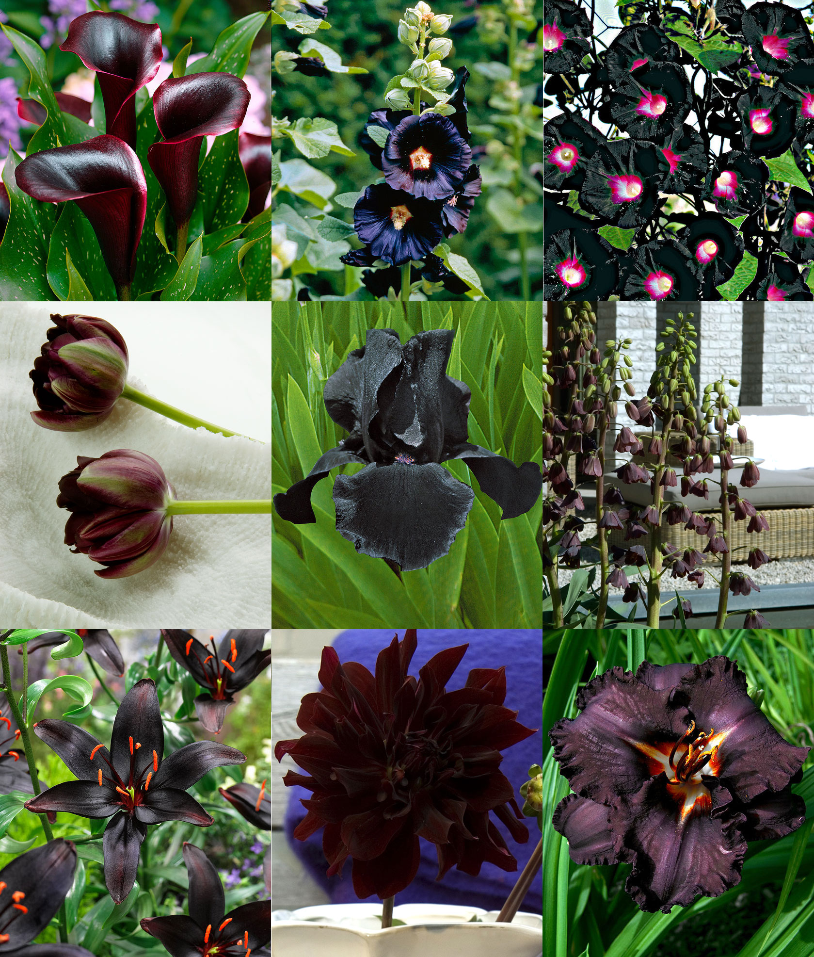 Fiori Bianchi E Neri.Fiori Neri Rose Tulipani E Altri Fiori Dai Colori Tendenti Al Nero