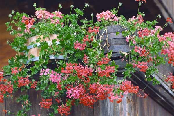 Fiori da balcone | Dai gerani alle surfinie, le strategie