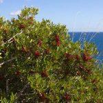 Lentisco | Olio essenziale e la coltivazione