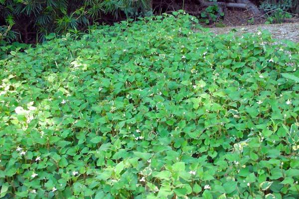 Piante tappezzanti perenni sempreverdi quello che c 39 for Elenco piante sempreverdi