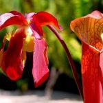 Sarracenia | La carnivora da giardino: coltivazione e mantenimento