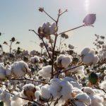 Piante tessili | Scopriamo le loro preziose fibre
