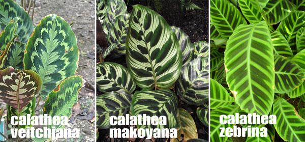 calathea pianta appartamento