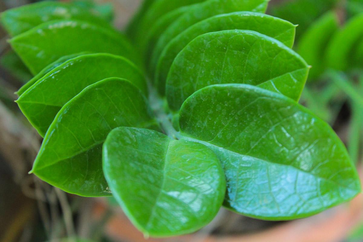 Zamioculcas dalla coltivazione alle foglie gialle for Zamioculcas cura
