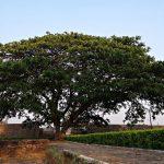 Albizia | Come coltivare l'albero che assomiglia all'Acacia