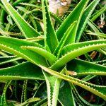Aloe | Vera, Arborescens: coltivazione, proprietà e usi