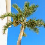 Areca | Aspetti generali e palma di Betel: come coltivarla?