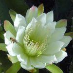 Cereus | Bella cactacea fiorita: proprietà e coltivazione