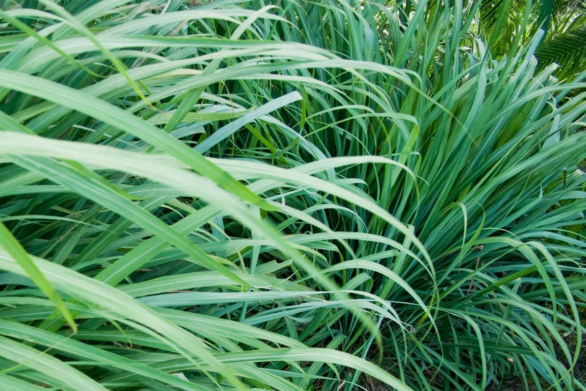 Citronella l 39 erbacea che sconfigge le zanzare e non solo for Solo piante