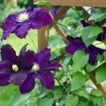 Clematis | Rampicante: varietà, coltivazione e indicazioni