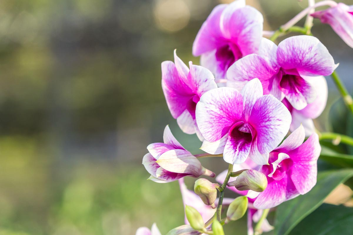 Cymbidium orchidee panoramica generale - Orchidee da appartamento ...