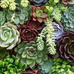 Echeveria | Varietà, coltivazione e aspetti generali
